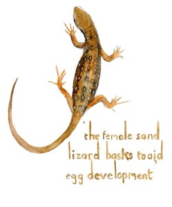Sand Lizard female
